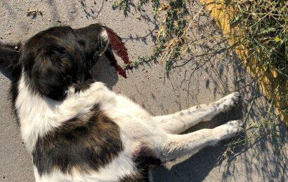 Kurban Eti İle 8 Köpeği Birden Zehirlediler…!
